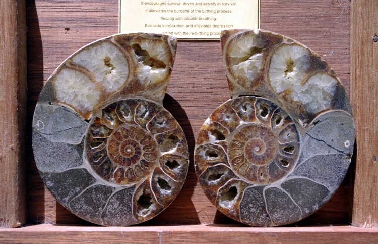 fossils ammonite pair